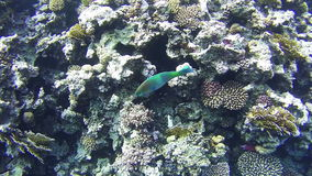 Colorful Tropical Fish on Coral Reefs Underwater in the Red Sea stock video