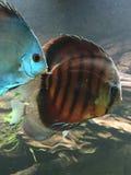 Colorful tropical fish. Fishtank display at aquarium royalty free stock photos