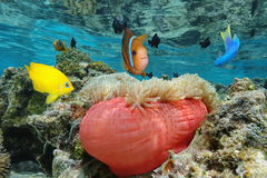 Colorful tropical fish with a sea anemone Pacific. Colorful tropical fish with a Magnificent sea anemone in shallow water, Bora Bora, Pacific ocean, French Royalty Free Stock Photos