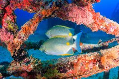 Colorful tropical fish on a shipwreck Royalty Free Stock Image