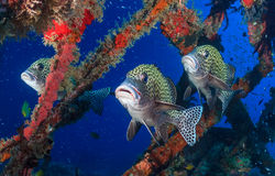 Colorful tropical fish on a shipwreck. Three colorful Harlequin Sweetlips on a tropical coral reef royalty free stock image