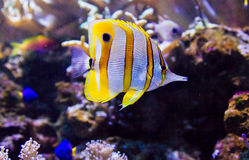 Colorful tropical fish. Side view of colorful tropical fish swimming underwater Stock Photography