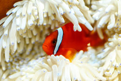 Colorful tropical fish. Side view of colorful tropical fish swimming underwater Royalty Free Stock Image