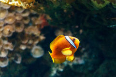 Colorful tropical fish. Side view of colorful tropical fish swimming underwater Stock Images