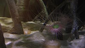Colorful tropical fish swim near other marine life stock video