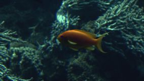 Colorful tropical fish swim near other marine life stock video footage