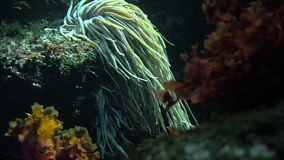 Colorful tropical fish swim near other marine life stock footage