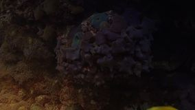 Colorful tropical fish swim near other marine life. With light effect, ultra hd 4k, real time stock video