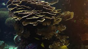 Colorful tropical fish swim near other marine life. With light effect, ultra hd 4k, real time stock video footage
