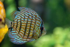Colorful tropical fish. Underwater image of colorful tropical fish closeup Stock Image