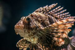 Colorful tropical fish. Underwater image of colorful tropical fish closeup Stock Photography