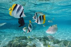 Colorful tropical fish underwater in a lagoon. Of Moorea island, Pacific ocean, French Polynesia Royalty Free Stock Photo