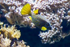 Colorful tropical fish with yellow tail and fins. Swimming past coral in a close up side view Royalty Free Stock Images
