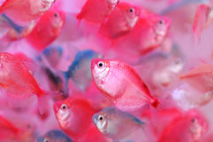 The colorful tropical fishes. The translucent tropical fishes swim happily in the aquarium Stock Photo