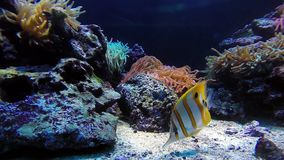 Colorful tropical fishes. And marine life underwater stock video