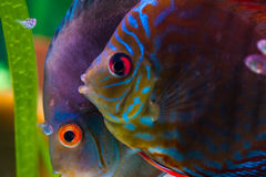 Colorful tropical fishes. Underwater image of colorful fishes, closeup Stock Images