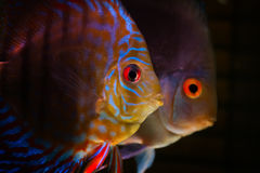 Colorful tropical fishes Stock Images