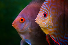 Colorful tropical fishes Stock Photos