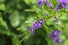 Colorful tropical flowers(Duranta erecta/Verbeceae Stock Image