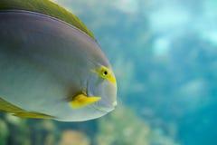 Colorful Tropical Hawaiian Pacific Fish. In Aquarium Exhibit stock photography