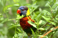 Colorful tropical parrot. Perched in branches of leafy tree of bush Stock Photos