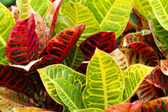 Colorful Tropical Plants After Rainfall / Croton Royalty Free Stock Photo