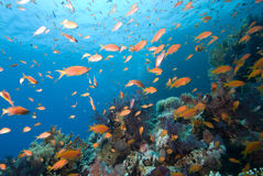 Colorful tropical reef, Red Sea, Egypt Royalty Free Stock Image