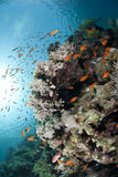 Colorful tropical reef scene buzzing with Anthias. Stock Photo