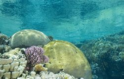 A colorful tropical reef scene in shallow water. A colorful tropical reef scene with honeycomb coral (favia favus) and a variety of hard corals in shallow water Stock Photos