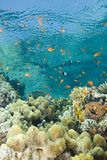 A colorful tropical reef scene in shallow water. Royalty Free Stock Images