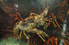 Colorful Tropical Rock lobster. Underwater Royalty Free Stock Image