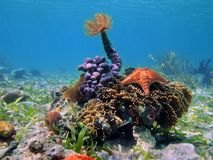 Colorful tropical sea life underwater in Caribbean. Colorful tropical sea life underwater with a tube worm on top of sponges, and a starfish over coral Stock Photos