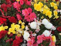 Colorful tuber rose begonias Stock Photography