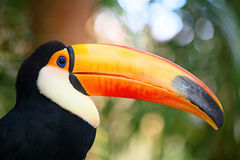Colorful tucan Royalty Free Stock Photography