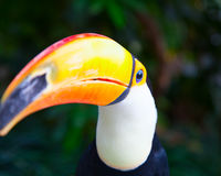 Colorful tucan. In the aviary stock image