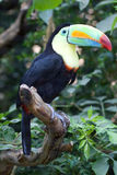 Colorful Tucan. In Zurich Zoo royalty free stock photography