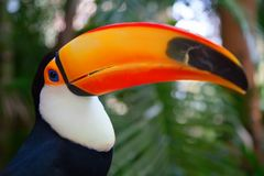 Colorful tucan. In the aviary royalty free stock images