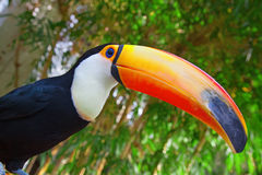 Colorful tucan Stock Photography