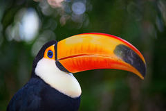 Colorful tucan Royalty Free Stock Photo