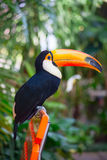 Colorful tucan Royalty Free Stock Images