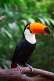 Colorful tucan. In the aviary stock photography