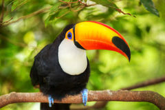 Colorful tucan. In the aviary for adv or others purpose use royalty free stock photos