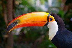 Colorful tucan. In the aviary royalty free stock photo