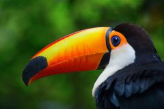 Colorful tucan. In the wild stock image