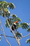 Colorful tucan. In the wild stock images
