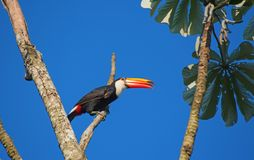 Colorful tucan. In the wild royalty free stock image