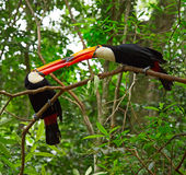 Colorful tucan. S in the wild Royalty Free Stock Images