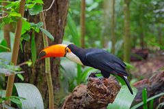 Colorful tucan. In the wild stock photos