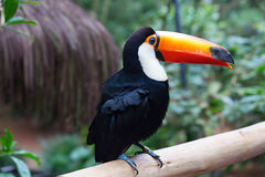 Colorful tucan royalty free stock image