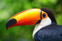 Colorful tucan. In the wild royalty free stock photography